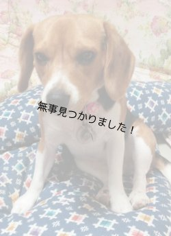 画像1: 平成25年9月6日、東京都練馬区石神井町、ビーグル犬