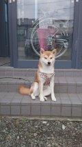 北海道釧路市武佐1丁目 柴犬、平成26年11月15日