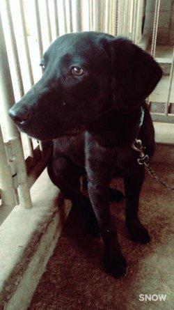画像1: 迷子犬,熊本県山鹿市,黒のラブラドール子犬,平成28年9月18日