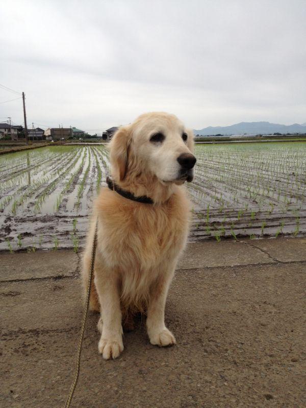 田んぼ道をショーンと散歩